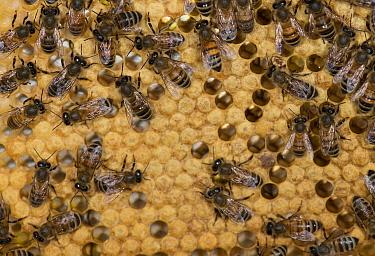 European honey bees (Apis mellifera) on capped honey comb cells  -  MD Kern/ PAJM/ npl