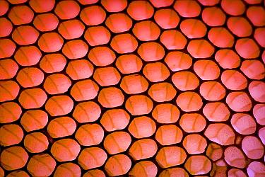 European honey bee (Apis mellifera) honey comb without caps  -  MD Kern/ PAJM/ npl