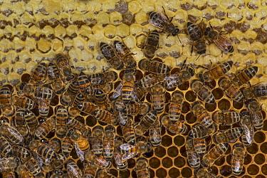 European honey bees (Apis mellifera) on honeycomb with capped honey, captive  -  MD Kern/ PAJM/ npl