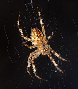 European Garden Spider, (Araneus diadematus) on web, captive  -  MD Kern/ PAJM/ npl