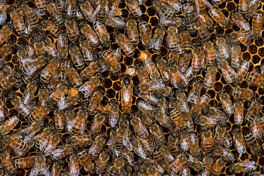 European honey bees (Apis mellifera) tending the queen, one licking her to take up her odour, which will spread through the colony via food exchange, such as in the bottom right corner of the image An...  -  MD Kern/ PAJM/ npl