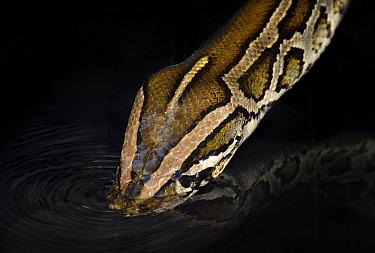 Burmese Python (Python bivittatus) drinking, captive  -  Michael D. Kern/ npl