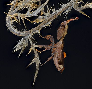 Ghost Mantis (Phyllocrania paradoxa) female, captive, native to Africa  -  Michael D. Kern/ npl