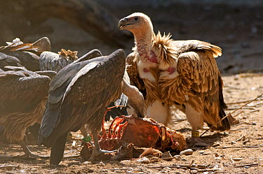 Himalayan griffon vulture (Gyps himalyensis) and oriental white-backed vulture (Gyps bengalensis) feeding on clean goat meat, captive, Vulture Conservation Breeding Centre near Pinjore in Haryana, Ind...  -  Chris Gomersall/ npl