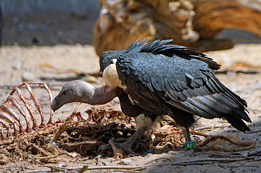 Oriental white-backed vulture (Gyps bengalensis) adult feeding on clean goat meat, captive, Vulture Conservation Breeding Centre near Pinjore in Haryana, India March 2005  -  Chris Gomersall/ npl