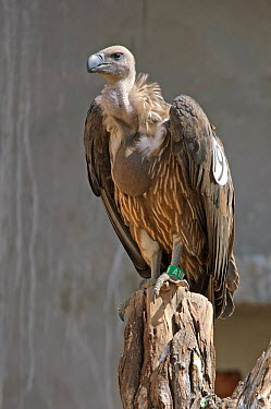 Oriental white-backed vulture (Gyps bengalensis) juvenile in captivity at the Vulture Conservation Breeding Centre near Pinjore in Haryana, India March 2005  -  Chris Gomersall/ npl