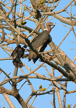 Wild oriental white-backed (Gyps bengalensis) adult being mobbed by large-billed crow (Corvus macrorhynchos) in Haryana, India March  -  Chris Gomersall/ npl