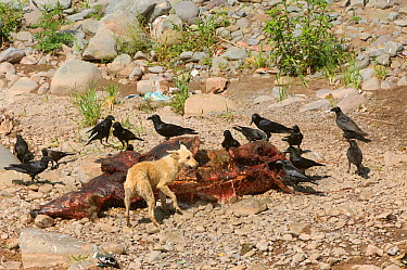 Carcass of cow with scavenging Thick billed crows (Corvus macrorhynchos) and feral dog Haryana, India March 2005 The population crash of wild vultures in the Indian subcontinent has caused concerns ab...  -  Chris Gomersall/ npl