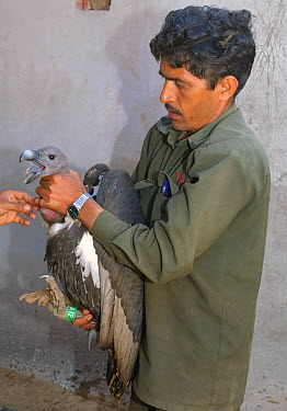 Oriental white-backed vulture (Gyps bengalensis) about to be examined by veterinarian, in captivity at the Vulture Conservation Breeding Centre near Pinjore in Haryana, India, March 2005  -  Chris Gomersall/ npl