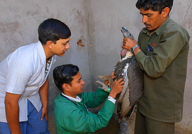 Project veterinarian for the Bombay Natural History Society, Dr Devojit Das (centre), examining an oriental white-backed vulture (Gyps bengalensis) at the Vulture Conservation Breeding Centre near Pin...  -  Chris Gomersall/ npl