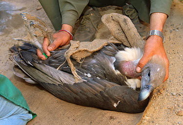 Oriental white-backed vulture (Gyps bengalensis) at the Vulture Conservation Breeding Centre near Pinjore in Haryana, India, about to be examined by veterinarian March 2005  -  Chris Gomersall/ npl