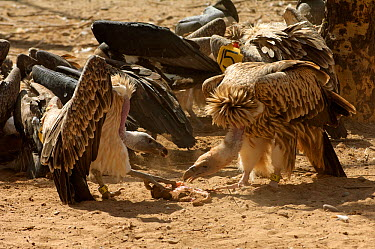 Long-billed vultures (Gyps indicus) and oriental white-backed vultures (Gyps bengalensis) feeding on clean goat meat, captive, Vulture Conservation Breeding Centre near Pinjore in Haryana, India March...  -  Chris Gomersall/ npl