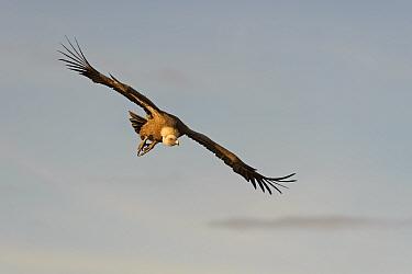 Eurasian griffon vulture (Gyps fulvus) adult in flight, preparing to land at feeding station in the Catalonian Pyrenees, Spain, November  -  Chris Gomersall/ npl