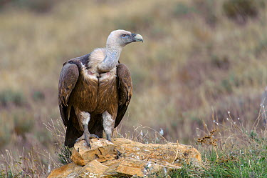 Eurasian griffon vulture (Gyps fulvus) adult on ground near feeding station in the Catalonian Pyrenees, Spain, November  -  Chris Gomersall/ npl