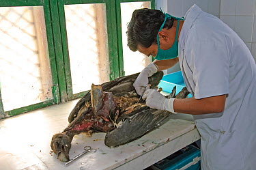 Project veterinarian for the Bombay Natural History Society, Dr Devojit Das, conducting a post-mortem examination on the corpse of an Oriental white-backed vulture (Gyps bengalensis) at the Vulture Co...  -  Chris Gomersall/ npl