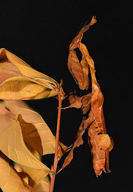 Ghost Mantis (Phyllocrania paradoxa) female captive, native to Africa  -  Michael D. Kern/ npl