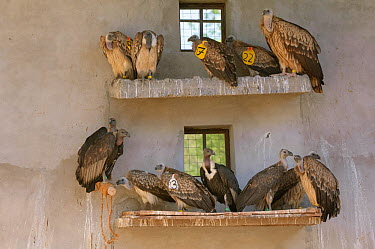 Long-billed vultures (Gyps indicus), Oriental white-backed vultures (Gyps bengalensis) and Himalayan griffon vulture (Gyps himalayensis) in captivity at the Vulture Conservation Breeding Centre near P...  -  Chris Gomersall/ npl