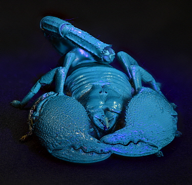Emperor scorpion (Pandinus imperator) glowing blue under UV light, captive  -  Michael D. Kern/ npl