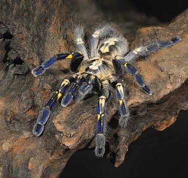 Gooty Sapphire Ornamenta (Heteroscodra maculata) captive  -  Michael D. Kern/ npl