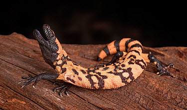Gila Monster (Heloderma suspectum) with mouth open, captive, native to southwestern USA and Sonora, Mexico  -  Michael D. Kern/ npl