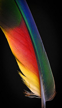 Yellow Naped Amazon Parrot (Amazona auropalliata) wing feather against black background  -  Michael D. Kern/ npl
