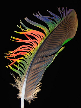 Yellow Naped Amazon Parrot (Amazona auropalliata) feather against black background  -  Michael D. Kern/ npl