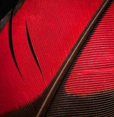Guinea Turaco (Tauraco persa) wing feather against black background  -  Michael D. Kern/ npl