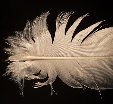 Grey crowned crane (Balearica regulorum) feather against black background  -  Michael D. Kern/ npl