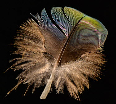 Catalina Macaw contour feather against black background Hybrid species between Blue and Gold Macaw and Scarlet Macaw  -  Michael D. Kern/ npl