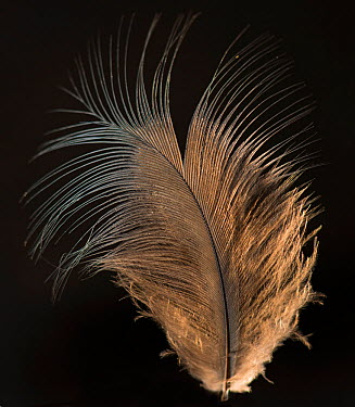Blue Crown Pigeon (Goura) contour feather against black background  -  Michael D. Kern/ npl