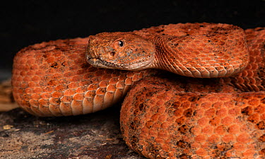 Speckled Rattlesnake (Crotalus mitchellii pyrrhus) San Diego County, captive  -  Michael D. Kern/ npl