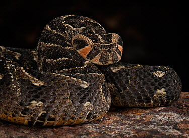 Puff Adder (Bitis arietans) captive, native to Africa and west Arabia  -  Michael D. Kern/ npl