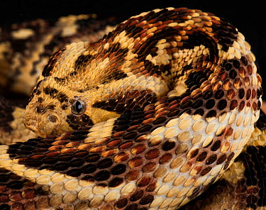 Puff Adder (Bitis arietans) captive native to Tanzania  -  Michael D. Kern/ npl
