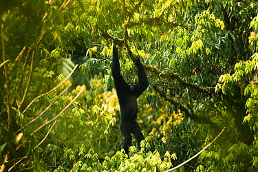Eastern hoolock gibbon (Hoolock leuconedys) Gaoligongshan Nature Reserve, Yunnan, China, April  -  Xi Zhinong/ npl