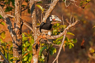 Oriental Pied Hornbill (Anthracoceros albirostris) south west China, February  -  Xi Zhinong/ npl