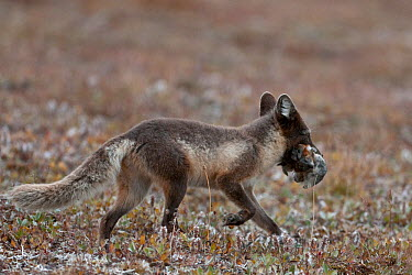 Arctic fox (Vulpes lagopus) in summer coat with lemmings in mouth, Wrangel Island, Far Eastern Russia, August  -  Sergey Gorshkov/ npl