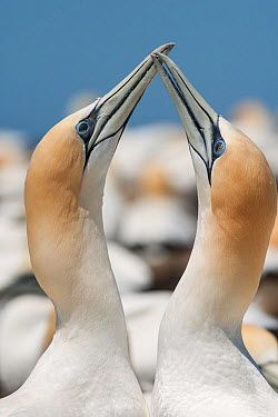 Pair of Australasian gannets (Morus serrator) crossing bills during courtship display Cape Kidnappers, Hawkes Bay, New Zealand, November  -  Brent Stephenson/ npl