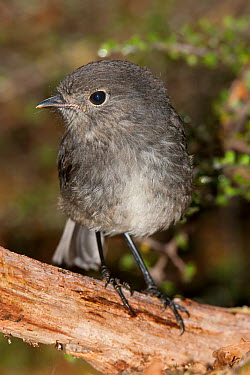 Juvenile South Island robin (Petroica australis) perched on a log on the forest floor Lake Gunn, Fiordland National Park, New Zealand, February  -  Brent Stephenson/ npl