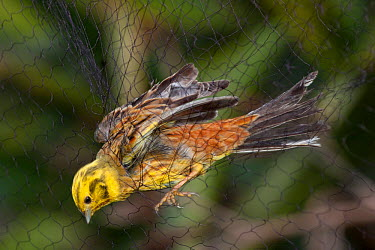 Adult male Yellowhammer (Emberiza citrinella) captured in a mist-net during scientific research Little Barrier Island, Auckland, New Zealand, September Introduced species in New Zealand  -  Brent Stephenson/ npl