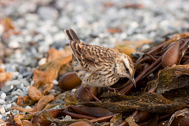 Juvenile New Zealand pipit (Anthus novaeseelandiae chathamensis) foraging amongst kelp on a beach Maunganui Beach, Chatham Island, New Zealand, April  -  Brent Stephenson/ npl
