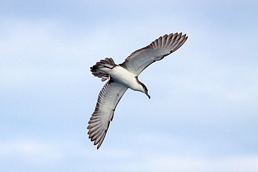 Bullers shearwater (Puffinus bulleri) in flight against the sky, showing the underwing pattern Off the Three Kings, Far North,New Zealand, April Vulnerable species  -  Brent Stephenson/ npl