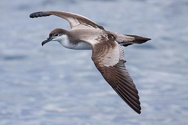 Bullers shearwater (Puffinus bulleri) in fresh plumage, in flight over the sea Hauraki Gulf, Auckland, New Zealand, October Vulnerable species  -  Brent Stephenson/ npl