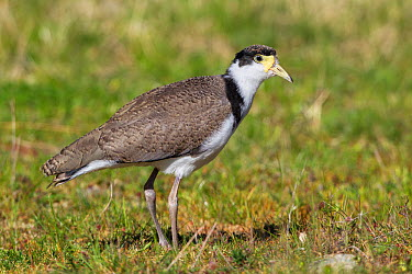 Juvenile Masked lapwing (Vanellus miles) showing mottled back pattern and small pale facial wattles Cape Kidnappers, Hawkes Bay, New Zealand, October  -  Brent Stephenson/ npl