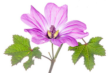 Common Mallow (Malva sylvestris) flower, in the garden at Podere Montecucco, Orvieto, Umbria, Italy, July  -  Paul Harcourt Davies/ npl