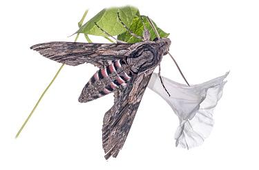 Convolvulus hawkmoth (Agrius convolvuli) resting on bindweed, in garden at Podere Montecucco, near Orvieto, Umbria, Italy, August  -  Paul Harcourt Davies/ npl