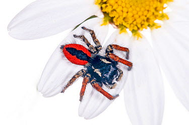 Jumping spider (Philaeus chrysops) in garden at Podere Montecucco, Orvieto, Umbria, Italy, June  -  Paul Harcourt Davies/ npl