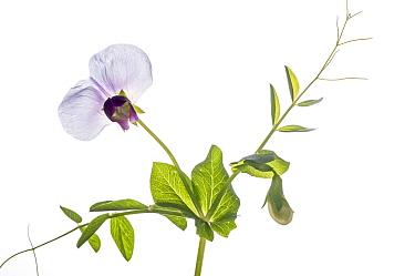 Wild Pea (Pisum sativum) in flower in garden, Podere Montecucco, Orvieot, Umbria, Italy  -  Paul Harcourt Davies/ npl