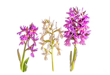 Roman Orchid (Dactylorhiza romana) in flower, purple and white colour morphs, Viterbo, Italy, April  -  Paul Harcourt Davies/ npl