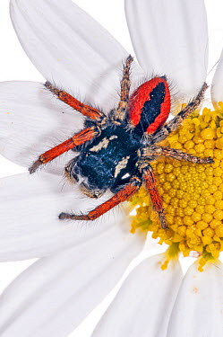 Jumping spider (Philaeus chrysops) on daisy in garden at Podere Montecucco, Orvieto, Umbria, Italy, June  -  Paul Harcourt Davies/ npl