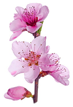 Peach blossom (Prunus persica) in flower, near Orvieto Italy, March  -  Paul Harcourt Davies/ npl